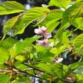 写真: 葉桜・・・