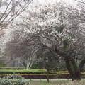 写真: 公園の梅