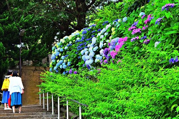 地蔵坂の紫陽花
