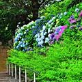 Photos: 地蔵坂の紫陽花