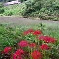 川辺の彼岸花
