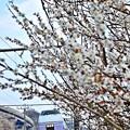 Photos: 春色沿線9