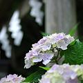 銭洗弁財天の紫陽花