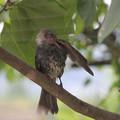 写真: ヒヨドリの若鳥水浴び後
