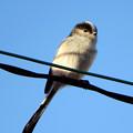 写真: 電線小鳥