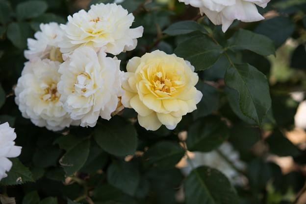 Photos: 【神代植物公園(ムーン・スプライト)】