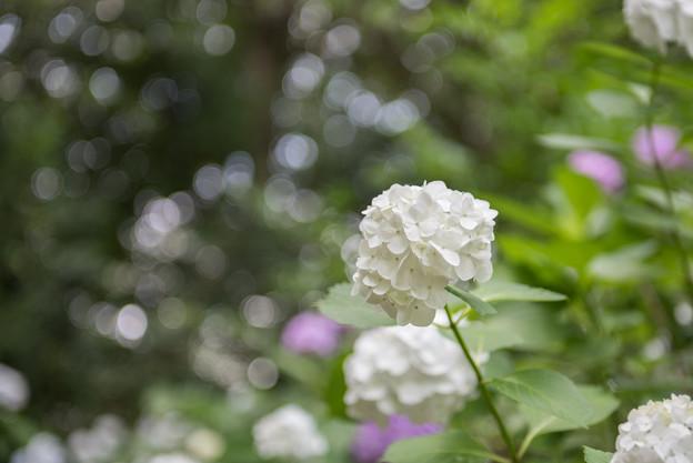 【浄慶寺(白色の紫陽花)】1