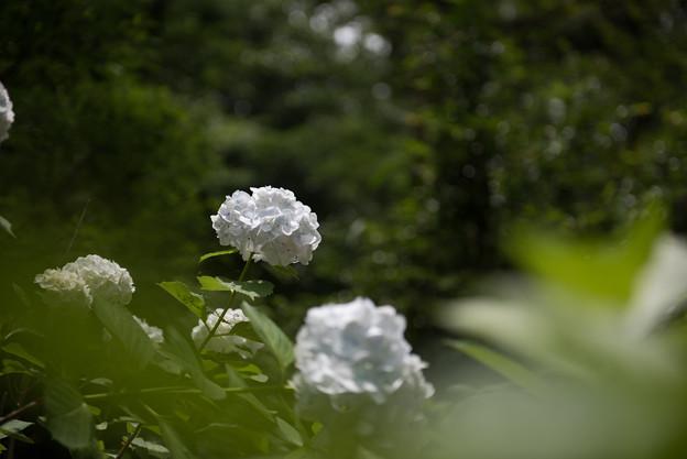 【浄慶寺(白色の紫陽花)】2