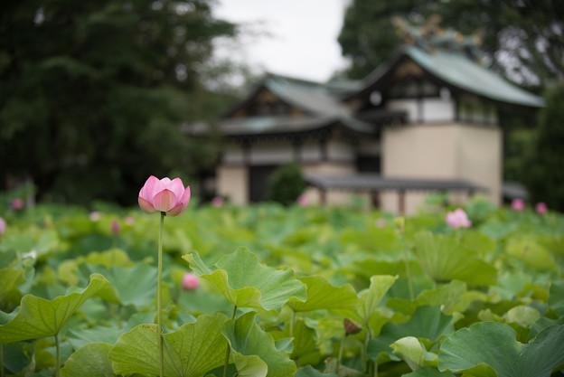 【小山田神社2(大賀蓮)】1