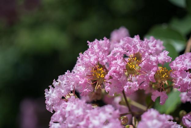 【大船植物園(ピンク色のサルスベリ)】3