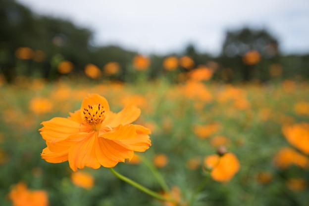 【昭和記念公園(オレンジ色のキバナコスモス)】2