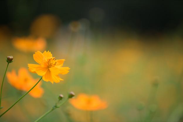 【昭和記念公園(オレンジ色のキバナコスモス)】3