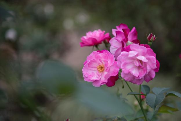 【花菜ガーデン(薔薇:ソフィーズ・パーペチュアル)】3