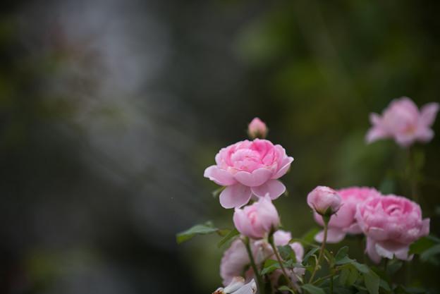 【花菜ガーデン(薔薇:ワイフ・オブ・バス)】3