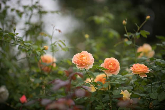 【花菜ガーデン(薔薇:モリニュー)】1