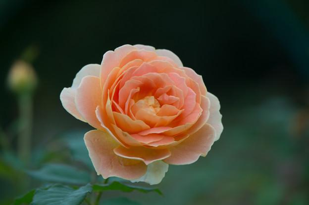 【花菜ガーデン(薔薇:モリニュー)】4