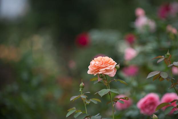 【花菜ガーデン(薔薇:ルイーズ・クレメンツ)】1