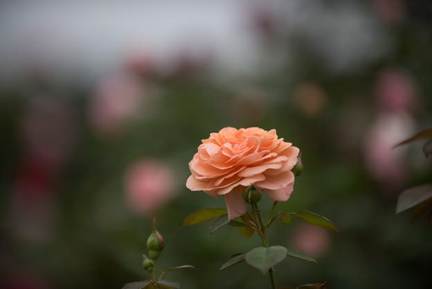 【花菜ガーデン(薔薇:ルイーズ・クレメンツ)】2