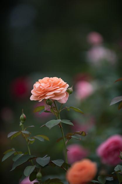 【花菜ガーデン(薔薇:ルイーズ・クレメンツ)】3