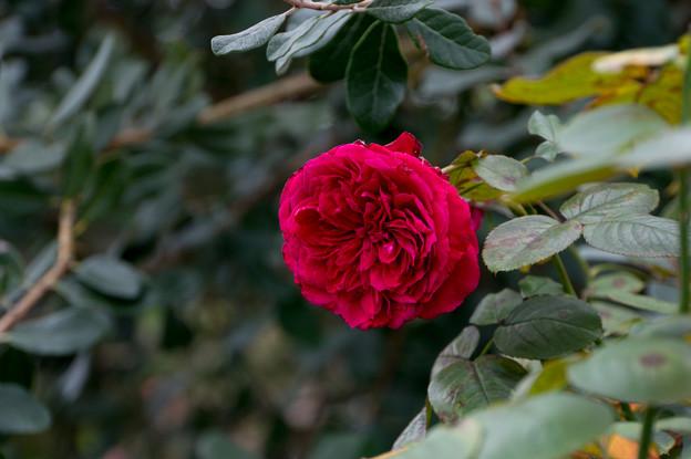【花菜ガーデン(薔薇:イヴ・ピアジェ)】2