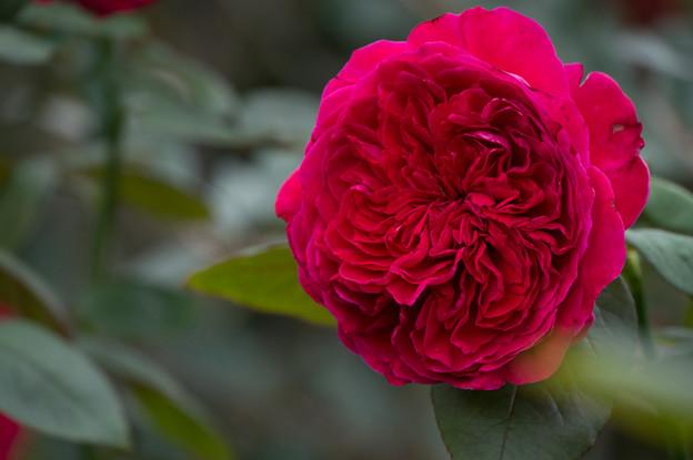 【花菜ガーデン(薔薇:イヴ・ピアジェ)】3