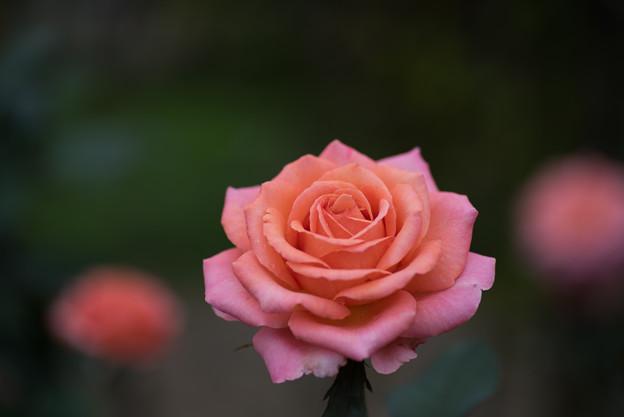 【花菜ガーデン(薔薇:アルブレヒト・デューラー・ローゼ)】2