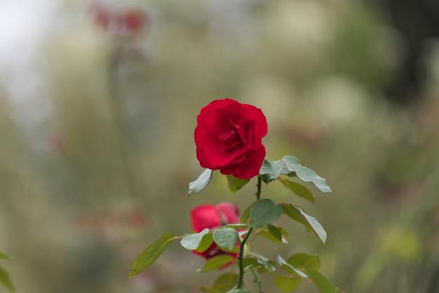【花菜ガーデン(薔薇:ダブリン・ベイ)】3