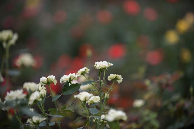 【花菜ガーデン(薔薇:緑光)】