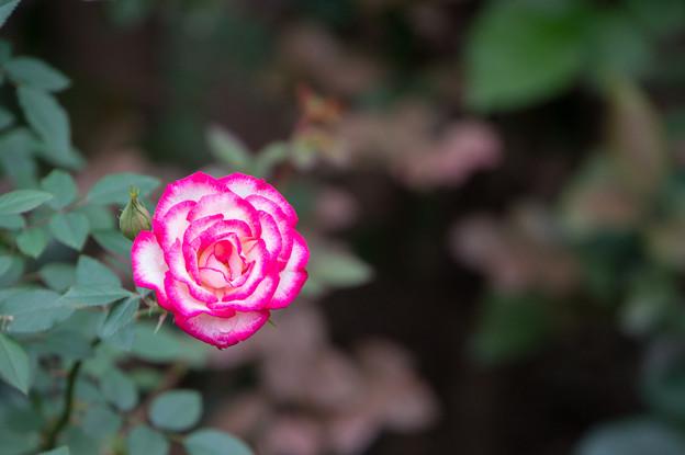 【花菜ガーデン(薔薇:ハイジ)】
