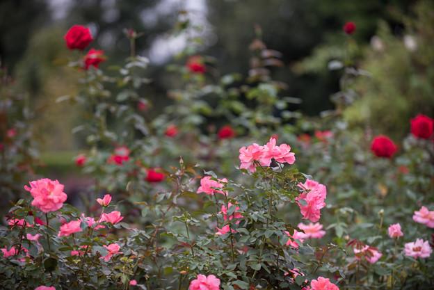 【花菜ガーデン(薔薇:シャルダン・ドゥ・フランス)】