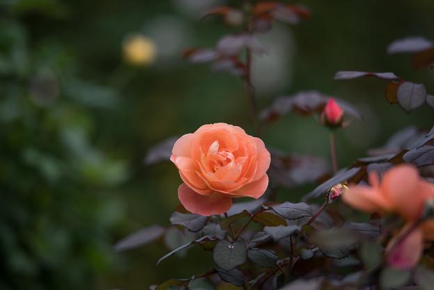 【花菜ガーデン(薔薇:レディ・エマ・ハミルトン)】