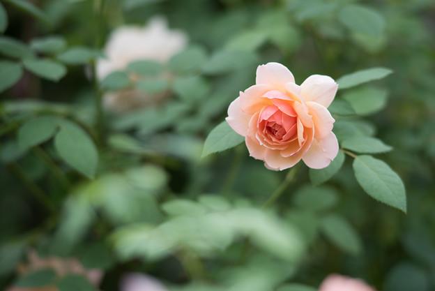 【花菜ガーデン(薔薇:グレイス)】2