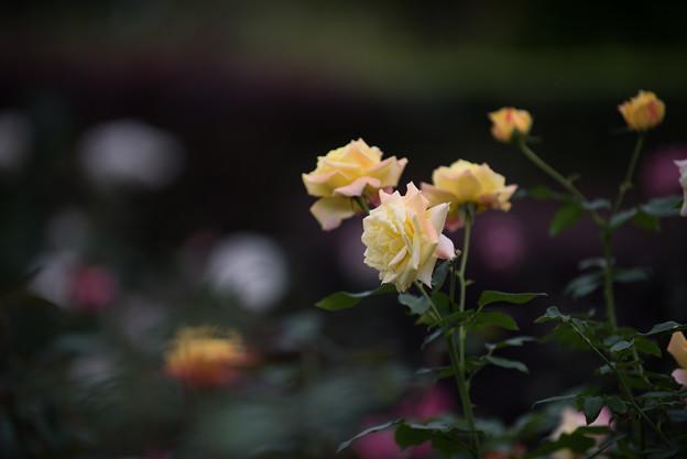 【花菜ガーデン(薔薇:トロピカル・シャーベット)】1