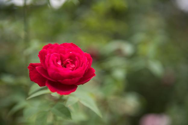 【花菜ガーデン(薔薇:L・D・ブレスウェイト)】2