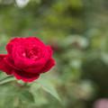 Photos: 【花菜ガーデン(薔薇:L・D・ブレスウェイト)】2