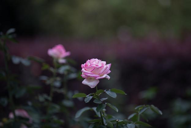 【花菜ガーデン(薔薇:プリンセス・ドゥ・モナコ)】