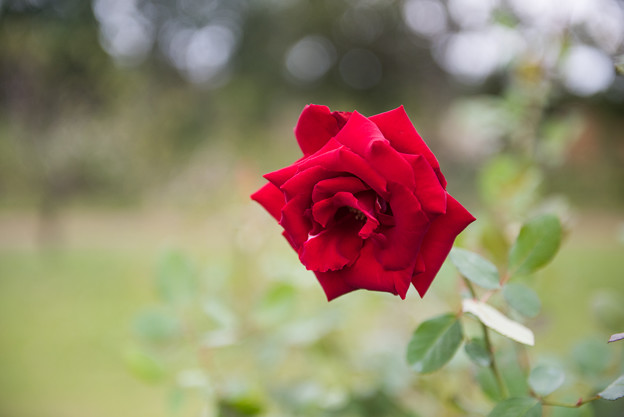 【花菜ガーデン(薔薇:ベルサイユのバラ)】1