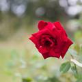 Photos: 【花菜ガーデン(薔薇:ベルサイユのバラ)】1