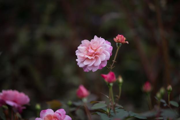 【花菜ガーデン(薔薇:グルス・アン・アーヘン・ピンク)】