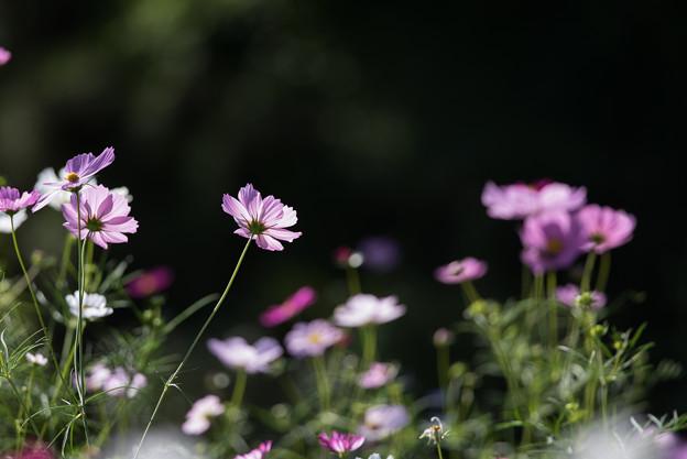 【昭和記念公園(花の丘:ドワーフセンセーション)】1_3