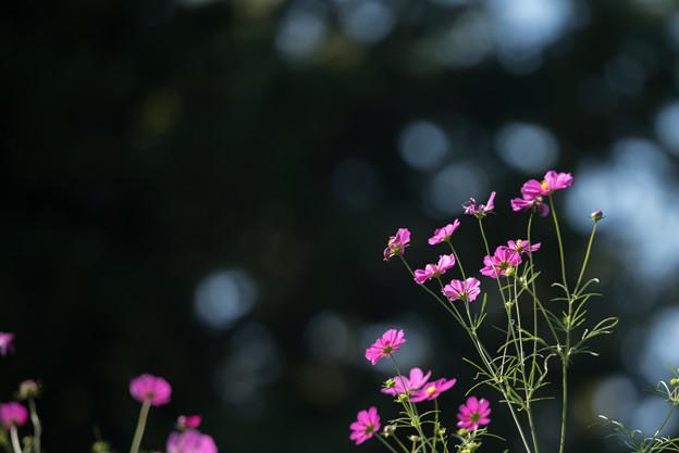 【昭和記念公園(花の丘:ドワーフセンセーション)】1_4