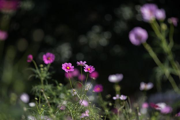 【昭和記念公園(花の丘:ドワーフセンセーション)】2_3