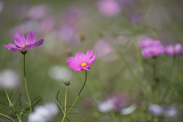 【昭和記念公園(花の丘:ドワーフセンセーション)】2_4