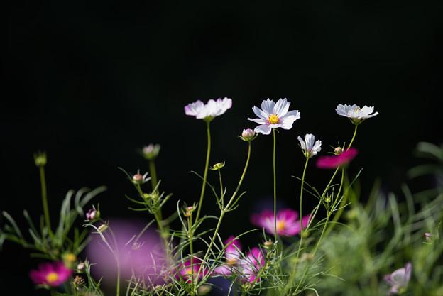 【昭和記念公園(花の丘:ドワーフセンセーション)】2_5