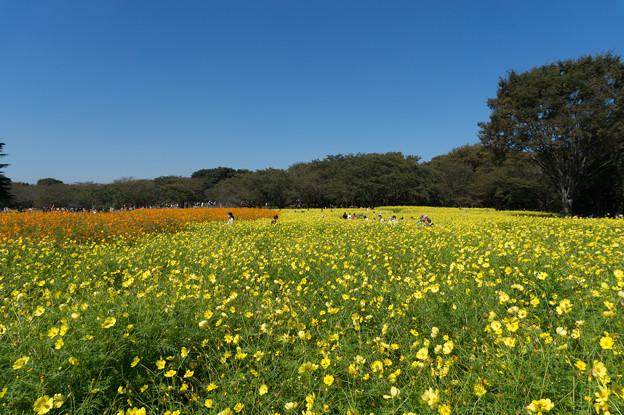 【昭和記念公園(原っぱ東花畑:キバナコスモス)】2