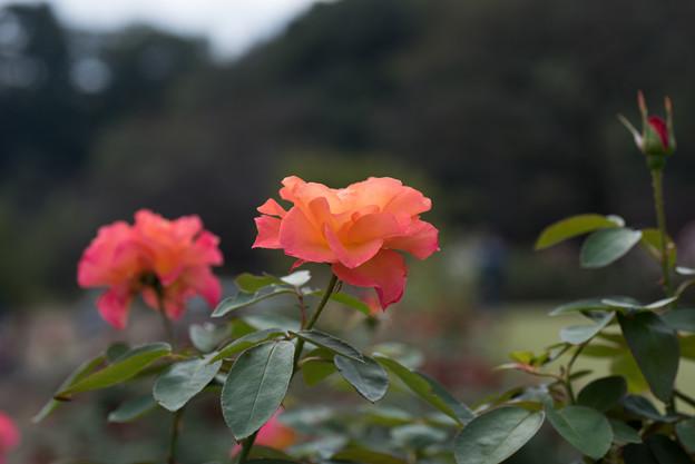【生田緑地ばら苑(薔薇:スーブニール・ドゥ・アンネ・フランク)】2