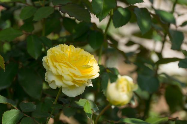 【京成バラ園(薔薇:快挙)】3