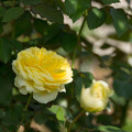 Photos: 【京成バラ園(薔薇:快挙)】3