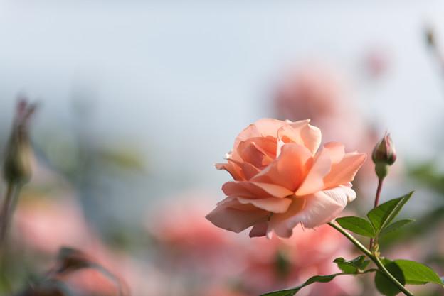 【京成バラ園(薔薇:アプリコット・キャンディ)】1
