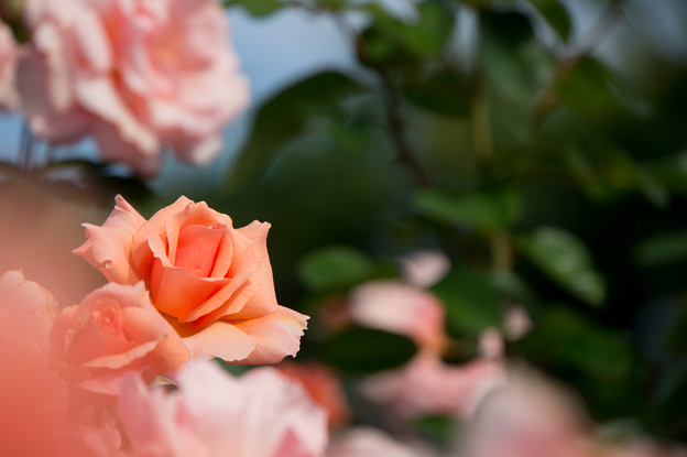 【京成バラ園(薔薇:アプリコット・キャンディ)】3